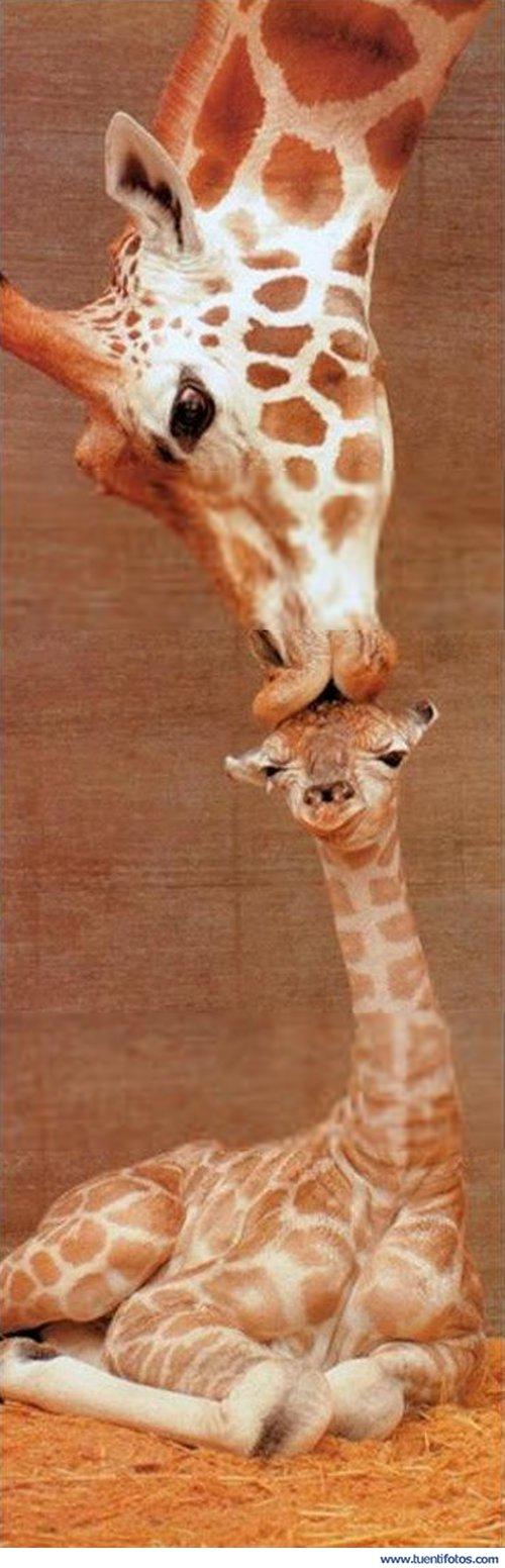 Animales de Beso De Mama Jirafa