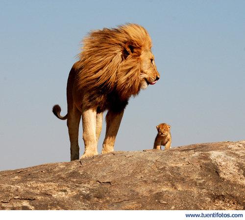 Animales de Mufasa Y Simba Reales