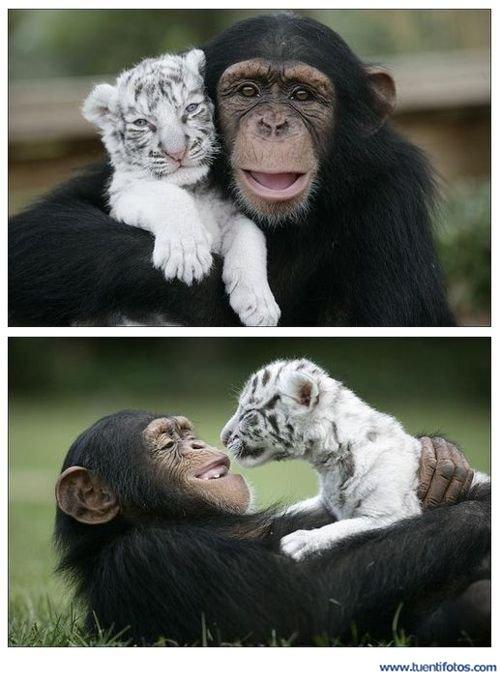 Animales de Tigre Con Mono