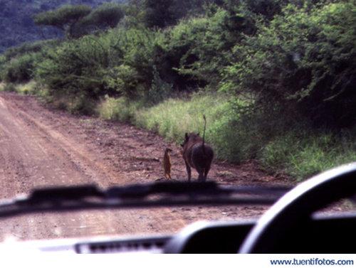 Animales de Timón Y Pumba Reales