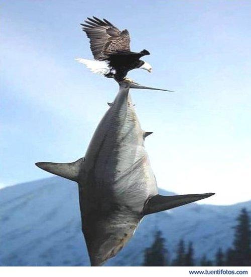 Animales de Aguila Captura Tiburón Gigante
