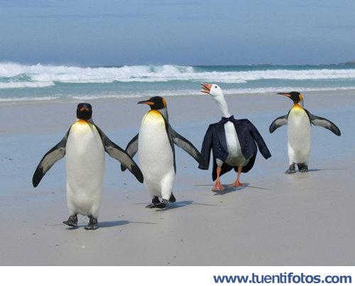 Animales de Oca Disfrazada De Pingüino