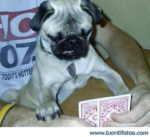 Animales de Perro Jugando A Las Cartas