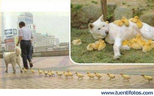 Animales de Perro Mama Pato