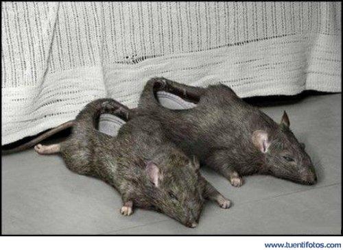 Animales de Zapatillas De Rata