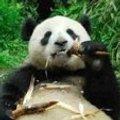 Miniatura de Cena Familiar Osos Panda