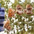 Miniatura de Hamsters Colgando