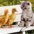 Miniatura de Gatito con Dos Patitos