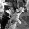 Miniatura de Gatos Beben Leche