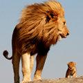Miniatura de Mufasa Y Simba Reales