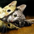 Miniatura de Un Gato que se Disfraza de Tal