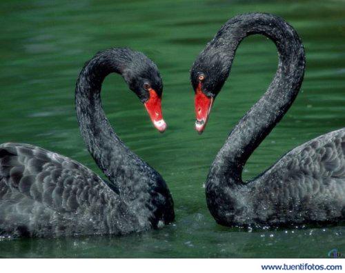 Amor de Corazón Gansos